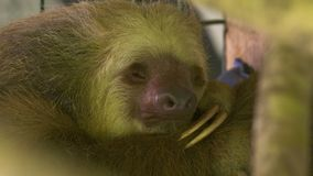 Sleeping sloth Costa Rica, Central America. Extreme close-up low-angle portrait still shot of an a adult two-toed sleeping sloth, Costa Rica, Central America stock footage