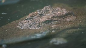 American alligator lurking in water, America. Extreme close-up low-angle still shot of a huge American Alligator lurking and stalking in a swampy pond water stock footage
