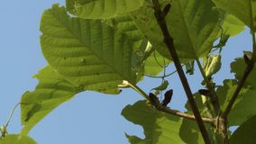 Young teak plant on a blue sky background, Myanmar