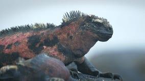 Extreme close up of a marine iguana on isla Espanola. In the Galapagos Islands stock footage