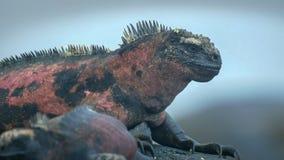 Extreme close up of a marine iguana on isla espanola. In the galapagos islands stock photography