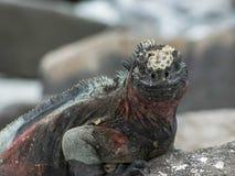 Extreme close up of marine iguana opening its mouth in the galapagos. Extreme close up of marine iguana opening its mouth on isla espanola in the galapagos stock photography