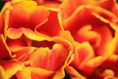 Extreme close up of an orange yellow tulip Stock Photography