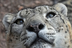 Extreme close up portrait of snow leopard. Extreme close up portrait of male snow leopard or ounce, Panthera uncia looking above camera, low angle view Stock Image
