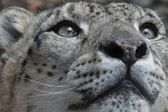 Extreme close up portrait of snow leopard. Extreme close up portrait of male snow leopard or ounce, Panthera uncia looking above camera, low angle view Stock Images