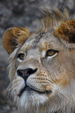 Extreme close up portrait of young African lion Royalty Free Stock Photo