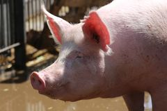 Extreme close up portrait of young pig sow stock photo