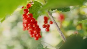 Extreme close up of red currant. On the branch stock video footage