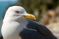 Close up of a seagull on the cliff. Extreme close up of a seagull on the edge of cliff above the Mediterranean sea Royalty Free Stock Photos