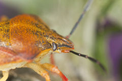 Extreme close-up of shield bug Stock Photography