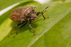 Extreme close up Shield Bug Or Stink Bug brown on plant.  Royalty Free Stock Images