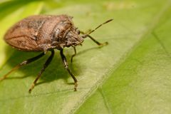 Extreme close up Shield Bug Or Stink Bug brown on plant.  Stock Images