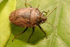 Extreme close up Shield Bug Or Stink Bug brown on plant.  Stock Photography