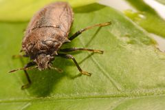 Extreme close up Shield Bug Or Stink Bug brown on plant Stock Photography