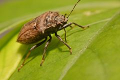 Extreme close up Shield Bug Or Stink Bug brown on plant Stock Images