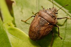 Extreme close up Shield Bug Or Stink Bug brown on plant.  Royalty Free Stock Image