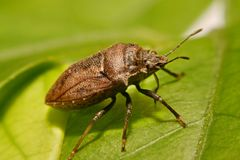 Extreme close up Shield Bug Or Stink Bug brown on plant.  Stock Photo
