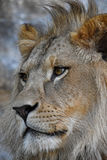 Extreme close up side portrait of African lion Royalty Free Stock Image