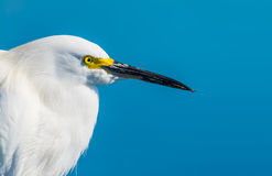 Extreme close up of a snowy egret Royalty Free Stock Photos