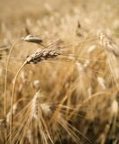 Close up of stalk of Hay soon to be cut in Tuscany, Italy in summer Stock Photo