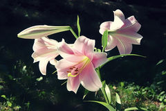 Extreme close up three flowers of colorful pink lily against green lawn background in garden Royalty Free Stock Image