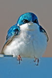Tree Swallow Stock Images