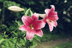 Extreme close up two flowers of colorful pink lily against green lawn background in garden Royalty Free Stock Photography