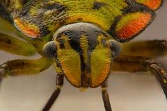 Extreme close-up van een Stink Insect Royalty-vrije Stock Afbeeldingen