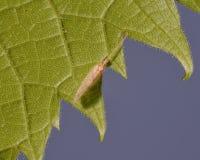 Extreme close-up van insectspecies op een groen blad - maak blauwe achtergrond glad - macrodetail van insect en bladcellen stock afbeeldingen