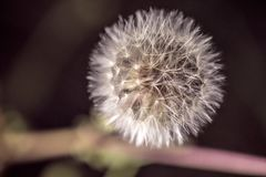 Dandelion flower close up view Stock Image