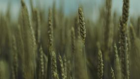 Extreme close up view of unripe green ears of golden wheat or rye. Beautiful landscape. Countryside, gorgeous nature. Pure nature and relaxed atmosphere. Slow stock video footage