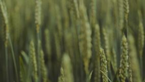 Extreme close up view of unripe green ears of golden wheat or rye moving under the light wind. Beauty of nature, spring. Time. Pure nature, agriculture stock footage