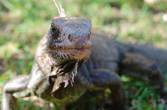 Extreme close-up of wild iguana on tropical island. Face-on close up of wild iguana on Caribbean island.  Iguana approaches very close looking for a treat Royalty Free Stock Photos
