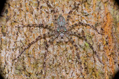 Extreme and close view of Lichen Huntsman Spider Pandercetes gracilis Stock Photography