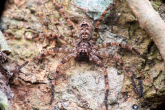 Extreme and close view of Lichen Huntsman Spider Pandercetes gracilis Royalty Free Stock Images