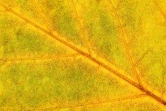 Extreme Closeup of Autumn Leaf Royalty Free Stock Image