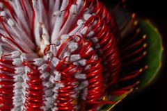 Australian honeysuckle wild flower. Extreme closeup of Banksia flower also know as Australian honeysuckle stock photography