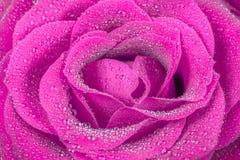 Extreme closeup of a beautiful pink rose Royalty Free Stock Photos