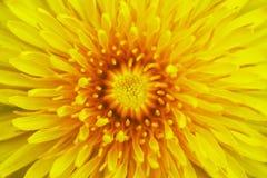Bloom of dandelion Stock Images