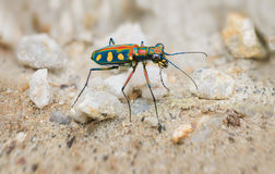 Extreme Closeup of a Brightly Colored Tiger Beetle in the Wild Stock Images