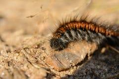 Extreme closeup of caterpillar Royalty Free Stock Photos