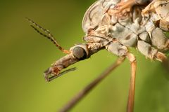 Extreme closeup of cranefly Stock Photos