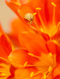 Little snail on red crocus flower Royalty Free Stock Photo