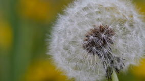 Extreme closeup of a dandelion gently moving with the wind. During spring. Macro with a shallow or narrow depth of field stock footage