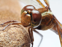 Extreme Closeup of a Dragon Fly Stock Photo