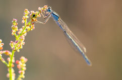 Extreme closeup of dragonfly on meadow Royalty Free Stock Photography