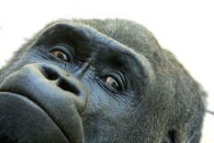 Extreme closeup of face of gorilla. Extreme closeup of face of lowland gorilla Stock Photography