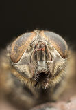 Extreme closeup of a fly's head Royalty Free Stock Photography