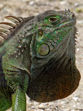 Extreme Closeup Green Iguana Neck Dewlap. Extreme closeup of iridescent Green Iguana showing off neck dewlap with orange Stock Images
