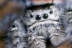 Harry face jumping spider. Extreme closeup image of jumping spider.  Kid friendly insect recommended by The National Wildlife Federation stock images